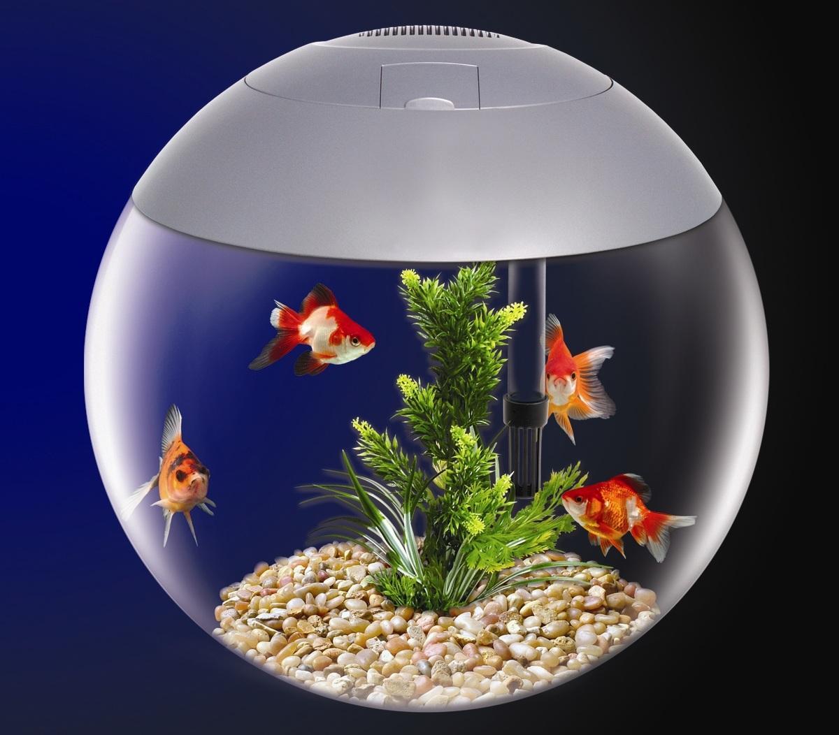 Image gallery bowl tank for Fish bowl fish