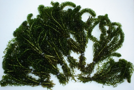 Bunched elodea crispa oxygenating plants for Oxygenating plants for a small pond