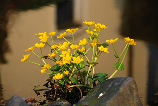 Image of Caltha palustris also referred to as marsh-marigold and kingcup