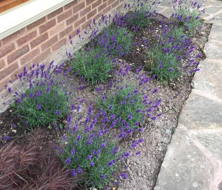 My border of lavender to help attract butterflies and bees.