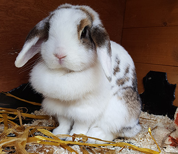 Rabbit relaxing in her hutch with sawdust and straw