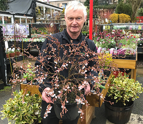 David Hall with A Kojo Cherry about to burst into Spring flower.