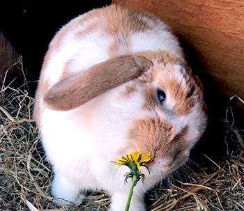 Rabbit eating a dandelion flower from the garden