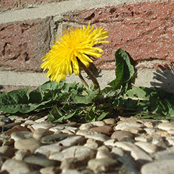 dandelion growing on a path