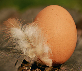 Chicken egg with a feather