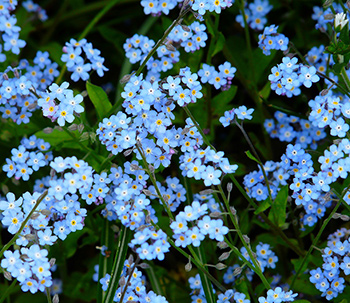 forget me nots in garden