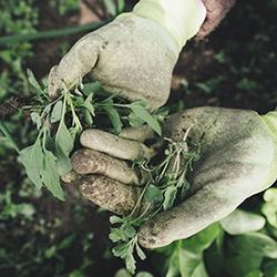 gardener weeding his garden using gloves