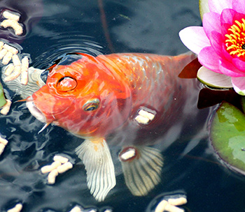 goldfish in garden pond eating food