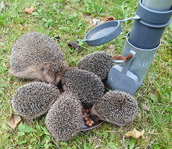 Hedgehogs eating in a garden