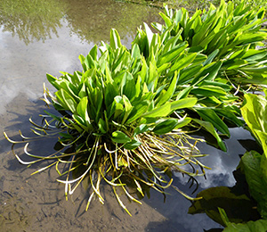 marginal plant in pond