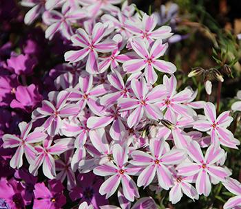 Pink Phlox in garden