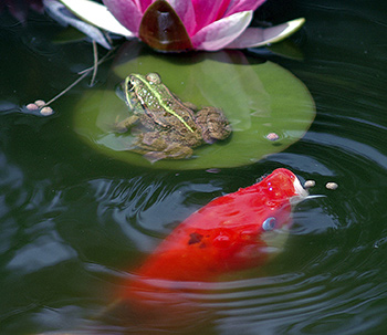 fish and frog in garden pond
