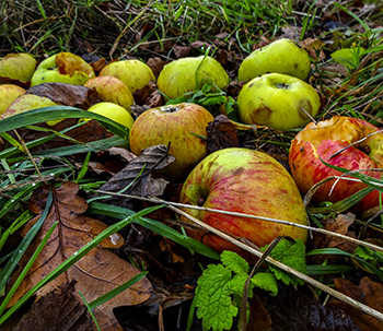 apples fallen from tree