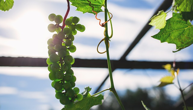 A vine of grapes growing inside a greenhouse.