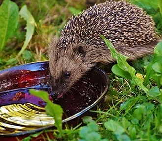 Hedgehog drinking