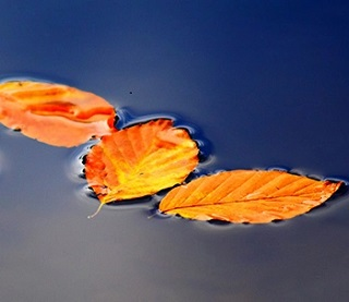 Leaves floating on the surface of water